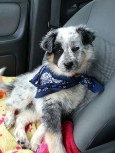 - Australian Cattle Dog/Australian Shepherd Mix. Want more? Follow:http://dogsandpupsdaily.tumblr.com/