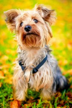 beautiful Yorkshire Terrier  puppy dog                                                                                                                                                                                 More