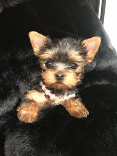Everything About The Brave Yorkshire Terrier Pup And Kids Puppy Obedience Training, Best Dog Training, Yorkies, Pug, Chihuahua, Cute Puppies, Cute Dogs, Tiny Puppies, Yorshire Terrier