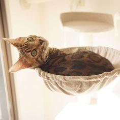 You wanted to see me?  #cat #catsofinstagram #cats #catstagram #instacat #catlover #catoftheday #bengal #bengalcat #oz #ねこ #猫 #ねこ部 #ねこすたぐらむ #猫部