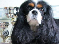 Order dog themed personal checks online featuring over 100 different breeds. Cavalier King Spaniel, King Charles Spaniel, Cavalier King Charles, Cocker Spaniel, White Chihuahua, Adorable Puppies, Best Dog Breeds, Cute Little Animals, Buckets