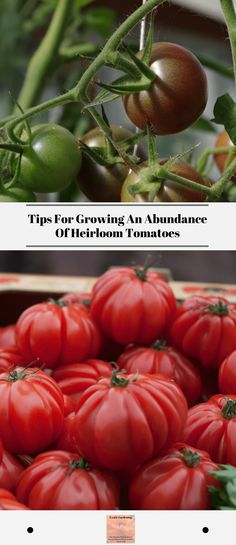 Non gmo tomatoes started from seed at home are the choice for many gardeners. Learn tips for growing great tomatoes in your own garden. #growinggreattomatoes #nongmotomatoes #howtoplanttomatoesinagarden