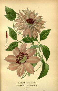 Clematis. Plate from 'Favourite Flowers of Garden and Greenhouse' by Edward Step, cultural directions edited by William Watson, illustrations selected D. Bois. Published by Frederick Warne & Co (1896).