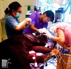 Dental surgery on a bear