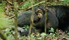 Disneynature's documentary Chimpanzee opens April 20 -- follow Oscar, an orphaned chimp, as he is adopted by Freddy, an alpha male.