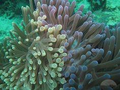 colorful sea anemones Sea Plants, Sea Anemone, Anemones, Sea Creatures, Under The Sea, Colorful, Beautiful