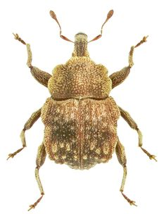 Trigonoplerus ptolycoides