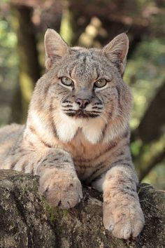 The Bobcat is a medium sized cat with a ruff of fur around the sides of the face. They weigh between 13-30 pounds, stand 21 inches high and are 30-50 inches long.