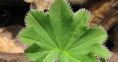 Miten innoissani olinkaan kun huomasin, miten paljon poimulehteä kasvaa joka paikassa. Poimulehti on aina yhdistetty kauneuteen sekä ... Plant Leaves, Health, Plants, Health Care, Plant, Planets, Salud