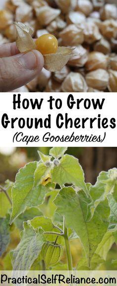 How to Grow Ground Cherries ~ Cape Gooseberries ~ Husk Cherries ~ Physalis sp.