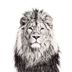 Printed Vinyl Lion Wallpaper With Magnetic Surface - Small   The Block Shop - Channel 9