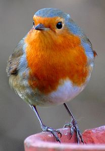 A European Robin, (Erithacus rubecula. Pretty Birds, Love Birds, Beautiful Birds, Animals Beautiful, Cute Animals, Hello Beautiful, Exotic Birds, Colorful Birds, European Robin