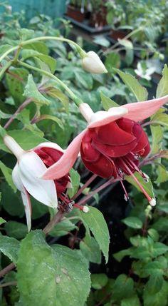 Pack x6 Trailing Giant Fuchsia /'Deep Purple/' Garden Plug Plants