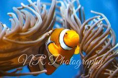Nemo animal photography! My photography! More on my facebook page www.facebook.com/nrphotography4 :) Email me at nrphotography4@yahoo.com for info about photoshoots and more. Check out my new website www.nrphotography4.com! #photography #animal #nemo #clownfish #disney #finding Clownfish, Animal Photography, Photoshoot, Facebook, Website, Disney, Check, Animals, Nature Photography