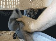 Baby Jaguar's Reaction To Its New Blanket