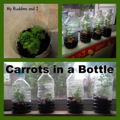 Carrots in a bottle are a great take home project for kids. Carrot tops will sprout new leaves in just a day or two in this warm, humid environment, too.