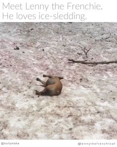 Frenchie is Excellent at Ice Sledding - Tiere - Chien Funny Animal Videos, Cute Funny Animals, Funny Animal Pictures, Animal Memes, Cute Baby Animals, Dog Pictures, Funny Cute, Funny Dogs, Animals And Pets
