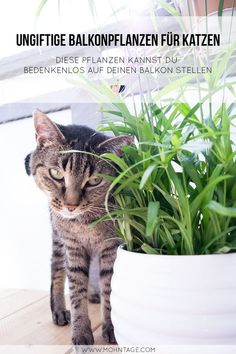 15 non-poisonous balcony plants for cats with checklist - katzen - Cat Plants, Balcony Plants, Cat Tags, Gras, Cool Cats, Animals And Pets, Urban Gardening, Kitty Cats, Merlin
