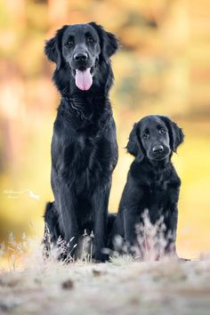 """Also called Flat-Coats, and in the past the """"Gamekeeper's Dog,"""" these dogs might be the happiest breed you'll ever meet. Their name comes from their sleek, flat coats which make these dogs look silky and smooth."""