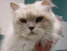 Cat Purebred Rescue