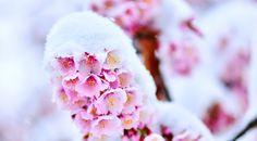 20150411_snow-cherry-blossom