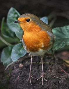 Garden robin by Lewis Outing on 500px