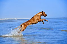 Rhodesian Ridgeback information including pictures, training, behavior, and care of Rhodesian Ridgebacks and dog breed mixes.