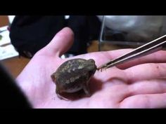 Feeding the cutest frog in the world - Desert rain frog
