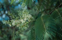 O angico é uma planta que possui como principal parte para o uso medicinal a sua casca. Conheça os benefícios deste vegetal para a saúde humana!