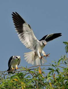 Black-shouldered Kite (Elanus axillaris)   by Zakir Hassan