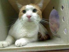 ID#A445786  I am described as a spayed female, white and orange Domestic Shorthair mix.  The shelter thinks I am about 2 years.  I have been at the shelter since Feb 10, 2015 and I may be available for adoption on Feb 17, 2015 at 12:30PM. If you are interested in me, please visit me before this date.  If you think I am your missing pet, please call or visit right away.