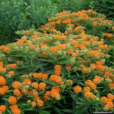 Butterfly Weed is the iconic bright orange staple for every butterfly garden. Butterfly Weed i Butterfly Garden Plants, Butterfly Weed, Planting Flowers, Orange Butterfly, Butterflies, Butterfly Flowers, Monarch Butterfly Habitat, Top Flowers, Sunflower Garden