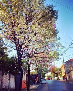 Lapacho blanco.Asunción-Paraguay
