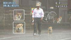 Shiba Inu, Doge, Funny Cute, Sheep, Cute Animals, Pets, Snow, Fictional Characters, Friends
