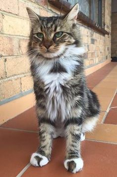 Bruno has been missing since 07/06/16 in the Campbellfield area (VIC). He's 1yrs old, very friendly and is micro-chipped. He may be injured as he got attacked by 2 dogs. If you have any information please get in touch, thank you.