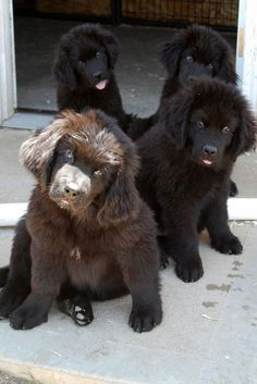newfoundland puppy found some friends