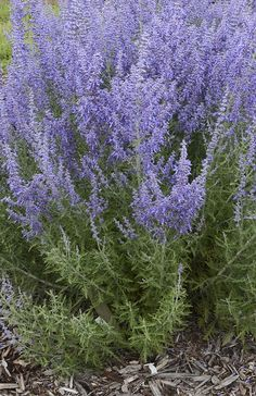 Our Denim n' Lace Russian Sage is greatly improved from what you may be accustomed to--this densely branched, vigorous grower has much stronger stems and a more upright habit.
