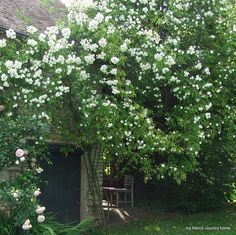 says it's a rambling rose, I have to have one of these