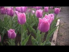 How to GrowTulips | At Home With P. Allen Smith
