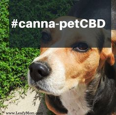 Discover the healing power of CBD! Mitragyna Speciosa, Puppy Store, Diy Dog Toys, Dog Anxiety, Healing Power, Dog Quotes, Dog Treats, Beagle, Dog Training