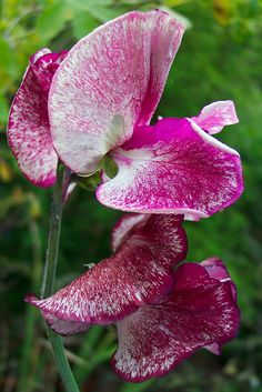 Sweet Pea 'Raspberry Ripple' (lathyrus odoratus) | Flickr - Photo Sharing!