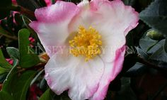 Apple Blossom camellia sasanqua. Fall winter flowering, white with pink edge.