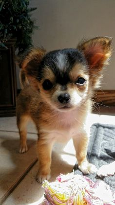 Adorable puppy ♡ #chihuahua