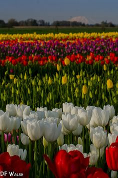 Wooden Shoe Tulip Farm, Woodburn, Oregon