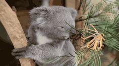Butterfly Photobombs Koala's Photoshoot