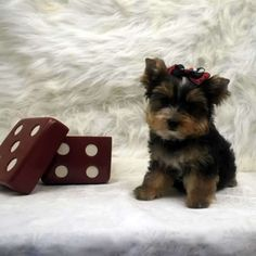 28 Best Toy Yorkie Images On Pinterest Pets Cute Dogs And Cute