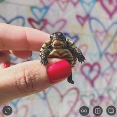 adorable baby turtle @peonytheturtle Baby Turtles, Reptiles, Peonies, Cute Babies, Sweet, Instagram, Candy, Funny Babies
