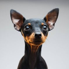 Here, 11 small dog breeds who bring major big dog energy to the table—even when they're not allowed in the dining room. Mini Pinscher, Miniature Pinscher, Doberman Pinscher, Big Dogs, Large Dogs, Small Dogs, Cute Dogs, Mini Bull Terriers, Miniature Bull Terrier