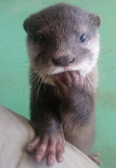 "Otter pup "" Am I cute enough? Cute Baby Animals, Animals And Pets, Funny Animals, Wild Animals, Animal Pictures, Cute Pictures, Hand Pictures, Beautiful Pictures, Otter Pup"