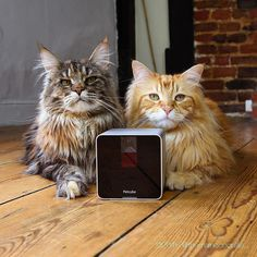 Tech Thursdays with Artemis and Apollo.  You can now hang out with these Maine Coons on the Petcube app.  Look for @mainecoonlife.  Photo by @themainecoonlife.  #cat #cats #cute #catsagram #catstagram #instagood #kitten #kitty #kittens #pet #pets #animal #animals #petstagram #petsagram #photooftheday #catsofinstagram #ilovemycat #instagramcats #nature #catoftheday #lovecats #furry #sleeping #lovekittens #adorable #catlover #instacat #petcube #catsofpetcube by petcube